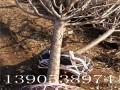13公分樱花树哪里数量多