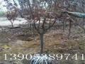 八公分樱花树种植基地