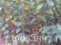 2公分甜柿树批发