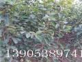 8公分9公分甜柿树一亩地烖多少棵
