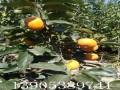3公分4公分甜柿树多少钱
