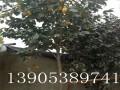 10公分甜柿树多少钱