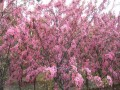 北美海棠品種