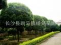 5cnm桂花树