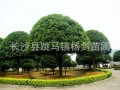 湖南8cm桂花树
