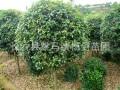 4cm桂花树