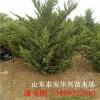 多頭龍柏種植基地2.5米多頭龍柏多少錢3.5米多頭龍柏