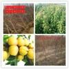 10公分杏树品种、10公分杏树价格、10公分杏树哪里有