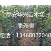 西府海棠生产基地 4公分、5公分、6公分西府海棠