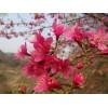 福建省漳州市地径5公分、米径五公分大红山樱花大量供应