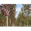 北美海棠价格北美海棠图片北美海棠产地北美海棠绿化苗木苗圃基地