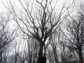 本园林供应各种规格朴树,树形精品