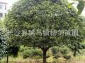 13公分桂花树