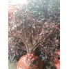 供应红花继木,海桐球,海枣