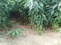 紅葉碧桃品種供應