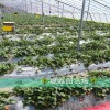 露天草莓苗红颜草莓苗哪里出售