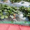 露天草莓苗牛奶草莓苗哪里能买到