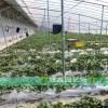 大棚草莓苗批发价格白草莓苗哪里有