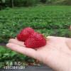 草莓苗批发白草莓苗哪里有卖的