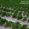 大棚草莓苗出售甜查理草莓苗品种介绍