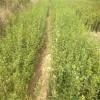 直销脱毒枸橘苗 枳壳苗  供应优质枳壳种子 量大从优