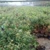 蓝莓苗批发 蓝莓树苗多少钱一颗