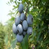 三年蓝莓苗价格 蓝莓苗批发