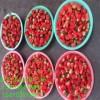 一代草莓苗批发价格红颜草莓苗哪里有卖的
