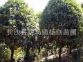 5cm八月桂花树