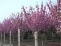 大规格樱花树
