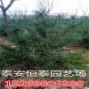 山东白皮松种植基地出售1米、1.2米白皮松 白皮松种植