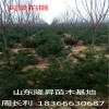 基地出售50公分、60公分白皮松 白皮松种植