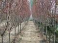 6厘米樱花树