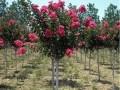 大规格樱花树价格