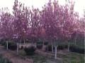 樱花树现货
