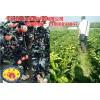 广西扩张三红蜜柚苗种植区域,种植三红柚子苗是增收关键