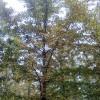 本基地专业供应银杏树.苗圃现挖.包活.包办检疫.量大从优