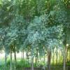 绿化苗基地  供应优质五角枫  林源五角枫种植基地直销
