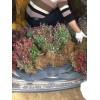 江苏红叶小檗床苗价格|红叶小檗批发价格