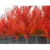 供应红叶椿