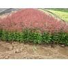 紅葉小檗苗