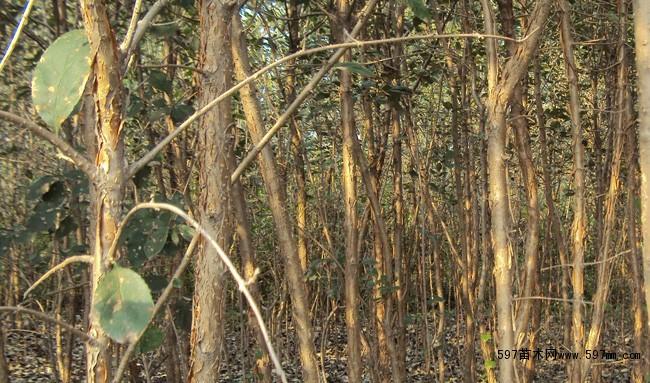流苏树的繁殖可采取播种,扦插和嫁接等方法,播种繁殖和扦插繁殖简便易