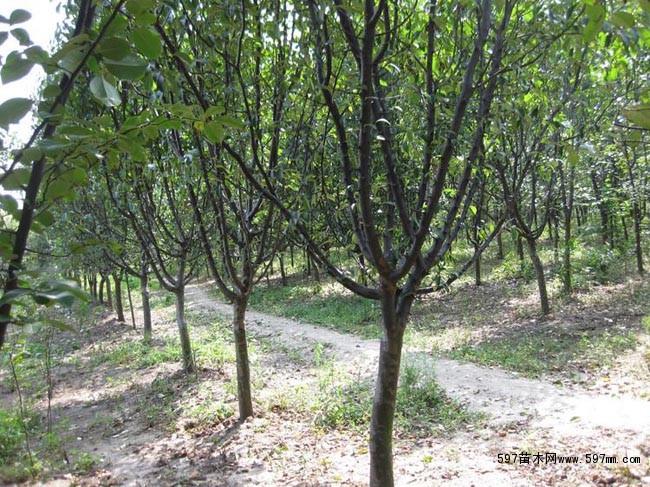 木瓜树 木瓜树小苗 皱皮木瓜 海棠木瓜 木瓜树 园林绿化