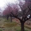 供应梅花树  规格5公分-40公分