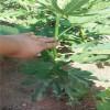 皇冠梨树苗供应皇冠梨树苗价格成活率高