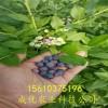 蓝莓苗 占地蓝莓苗 蓝莓苗小苗