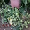 草莓苗哪里有卖的=哪里有卖草莓苗的 草莓苗价格多少钱一棵