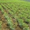 山东枣树苗批发  大枣枣树苗品种
