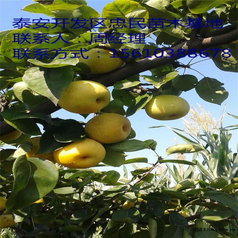 梨树苗批发 梨树苗价格 梨树苗多少钱一棵