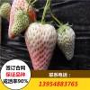 白草莓苗 2017年白草莓苗价格 白草莓苗批发基地